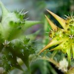 tribulus-terestris